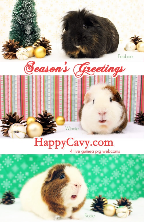 Three guinea pigs in a Christmas card