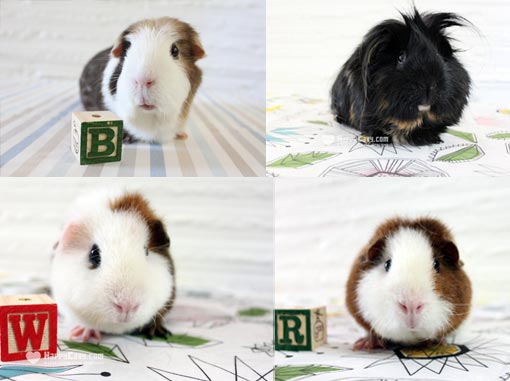 The Happy Cavy guinea pigs