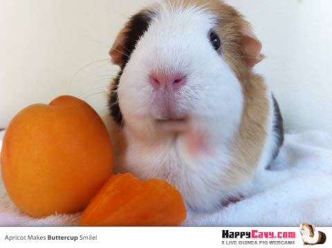 Guinea Pig with Apricot Fruit