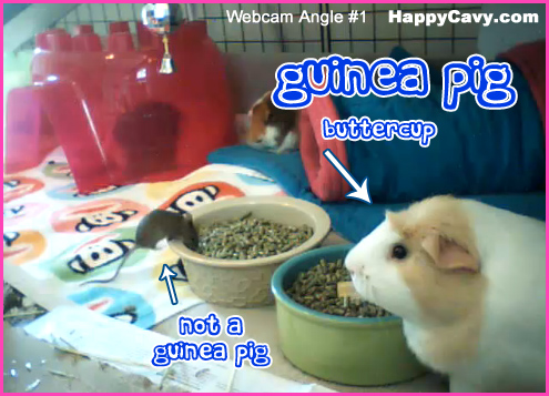Guinea pig and mouse