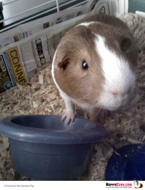 Cinnamon the Guinea Pig