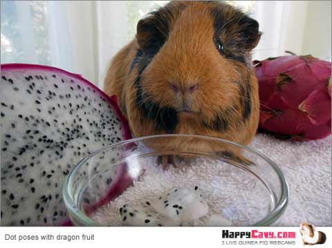 Guinea pig with dragon fruit pitaya