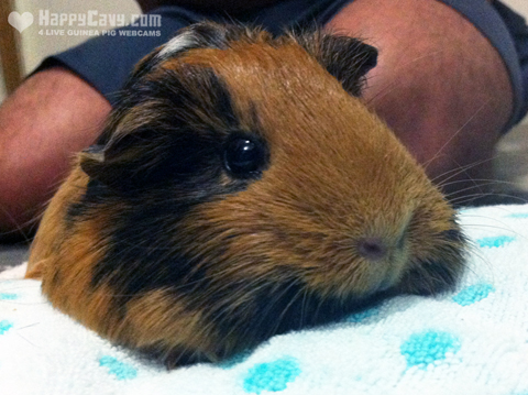 Guinea pig on vibrating pillow to treat assumed gut upset