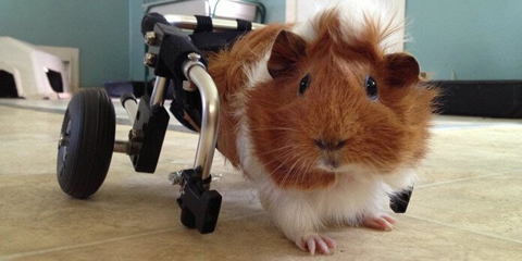 Guinea pig in a cavy wheelchair