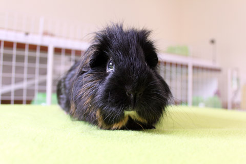 Black guinea pig with cage in background
