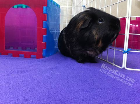 Black guinea pig explores indoor floor enclosure