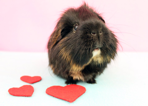 Cute black guinea pig with hearts