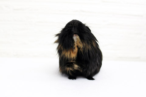 Black guinea pig looking up