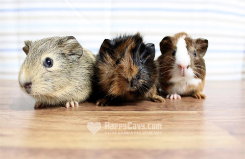 Graphic advertising that March is Adopt a Rescued Guinea Pig Month