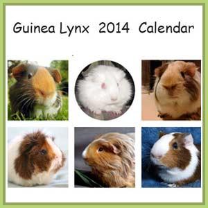 Guinea pig calendar Guinea Lynx