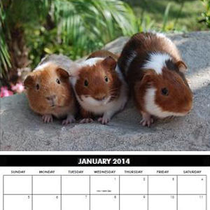 Guinea pig calendar for 2014