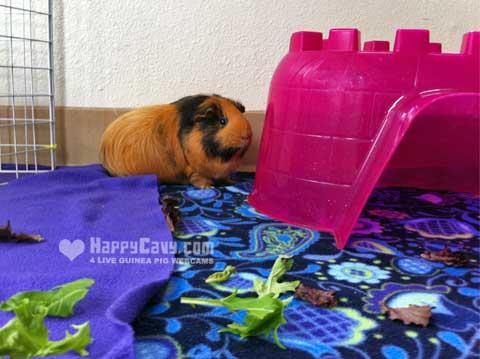 Shy guinea pig hiding by hidey