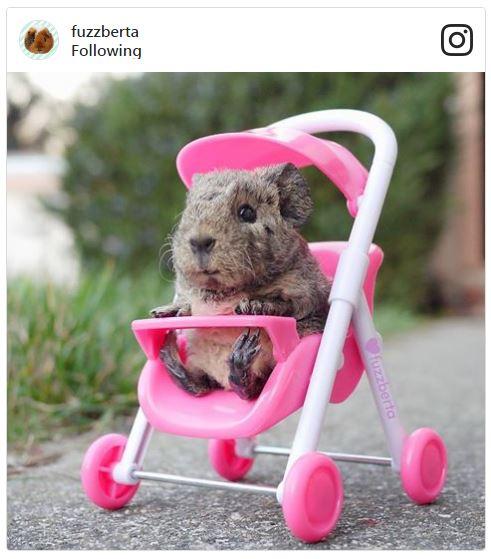 Baby guinea pig in stroller