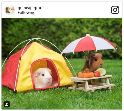 Guinea pig picnic