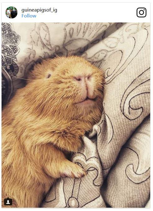Smiling guinea pig sleeping