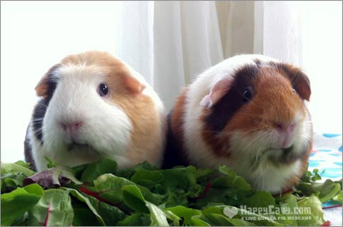 Guinea pigs eating dark green lettuce