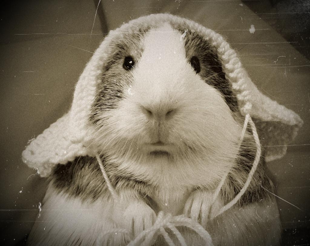 Guinea pig in a crochet bonnet