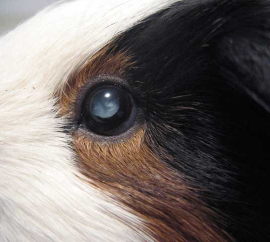 Guinea pig with cataract in eye