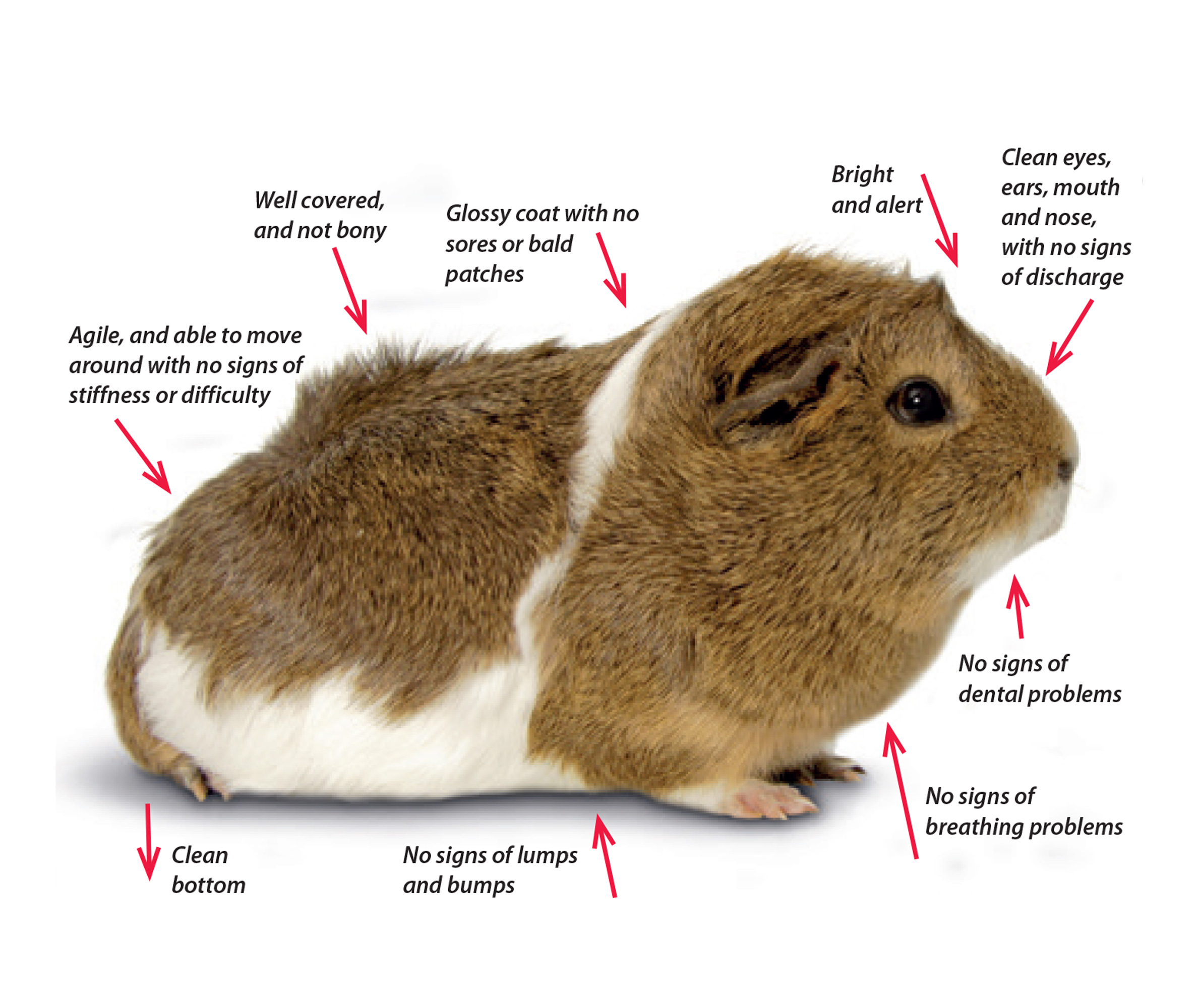 Guide to checking guinea pig health