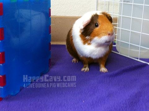 American guinea pig in floor cage enclosure