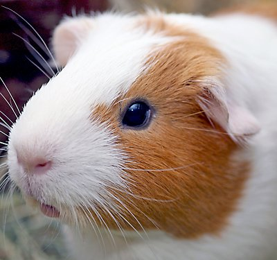 Guinea pig with healthy eyes