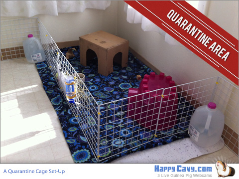Cage Set Up for Guinea Pig Quarantine