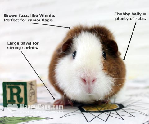 Diagram about a guinea pig
