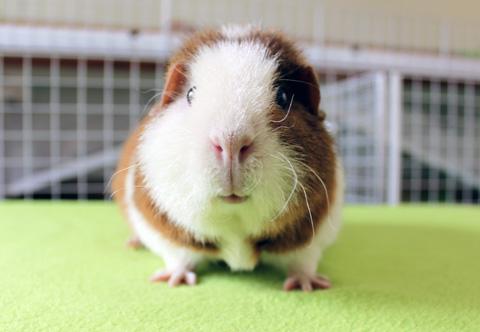 Teddy guinea pig smiling