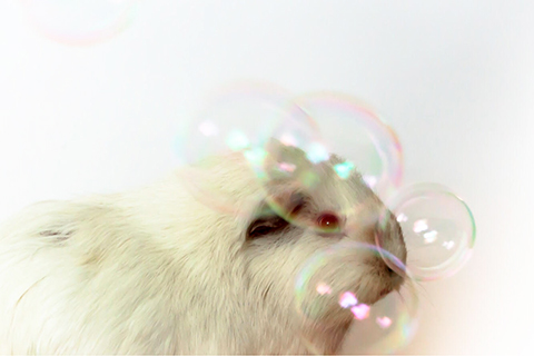 PEW guinea pig with pink eyes and white coat