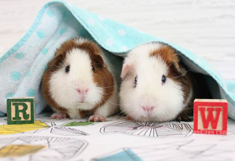 Two guinea pigs adopted from a shelter