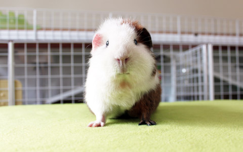 Cute guinea pig on alert