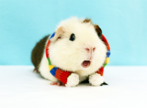 Guinea pig wearing a scarf in cold weather
