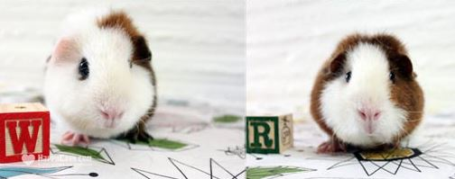 The Happy Cavy guinea pigs