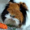 There Once Was A Peruvian Guinea Pig (Poem)