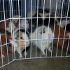 Beaverton, Oregon Woman Rescues 40 Abandoned Guinea Pigs; Many Will Be Available for Adoption