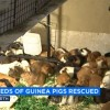 LA Guinea Pig Rescue Asks for Help After Rescuing Hundreds of Guinea Pigs