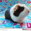 The Guinea Pig Sound: Purring [VIDEO]