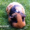 Obituary Tribute to Dot the Guinea Pig