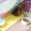 HappyCavy Mobile Guinea Pig Treater