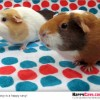 Easy Guinea Pig Hanging Treat Exerciser (or DIY Cavy Boredom Buster)