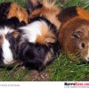 A Guinea Pig Haiku Poem Set