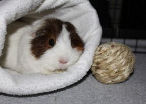 Bitsy in the cavy cozy
