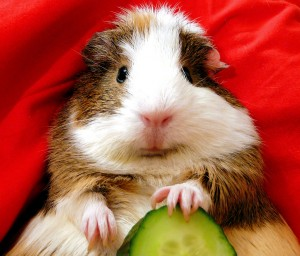 Guinea pig safe food list